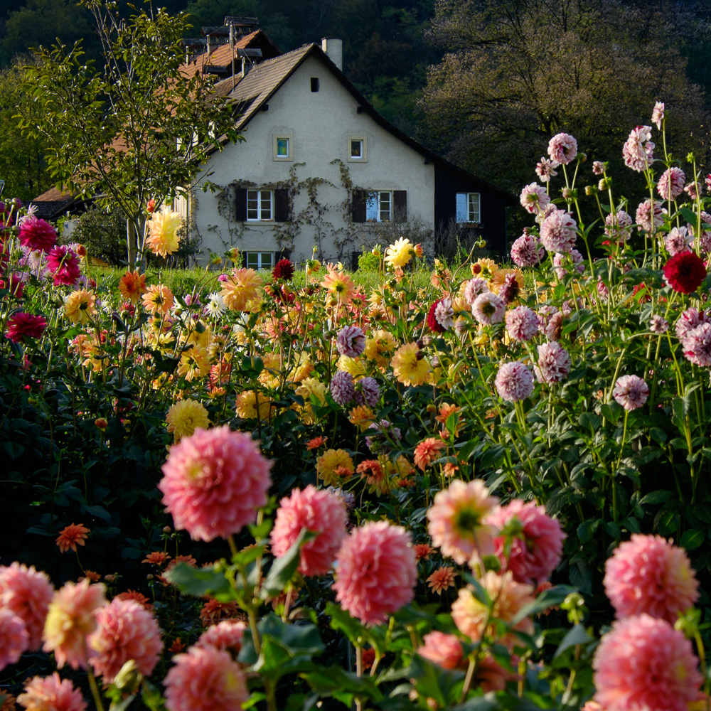 Dahlia field in Liestal, Switzerland.