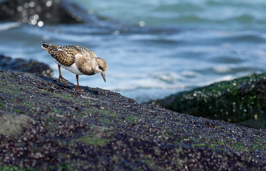 Sandpipers. [Fujifilm X-T1, XF 55-200mm, edited in LR]